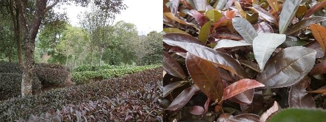 紫けん茶畑